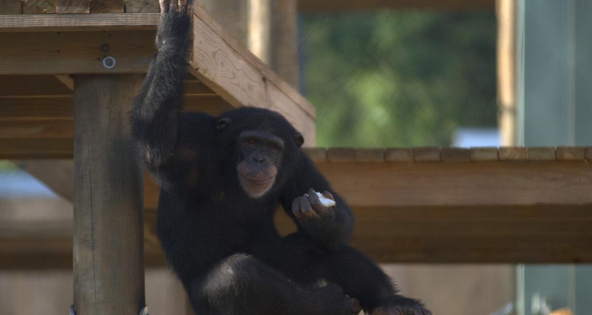 Vita da scimpanzé – il trailer italiano della docuserie di National Geographic