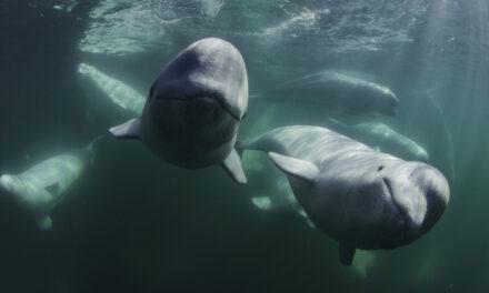 I Segreti delle Balene – Il trailer della serie su Disney+
